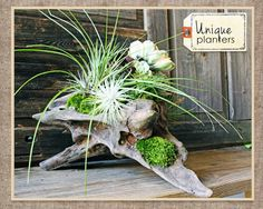 Large interesting driftwood pieces make great decor items as well. They are so interesting in shape, size and color. You can even plant them like the photo below!