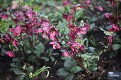 Flowers FEB-APRIL - Buy hellebore Helleborus '(Rodney Davey Marbled Group) Anna's Red': Delivery by Crocus.co.uk
