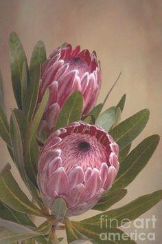 Pink Protea Proteaceae Flower Greeting Card for Sale by Leah-Anne Thompson Protea Art, Protea Flower, Exotic Flowers, Real Flowers, Wild Flowers, Australian Flowers, Evening Primrose, Flower Photos, Botanical Art