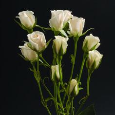 White Mayolika #RosesColombia #RedilRoses #ColombianFlowers #Roses #BlomFlores #Regalos