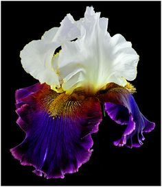 """<img> i always think bearded iris is wonderfully beautiful, especially those with lovely colour combinations … Bearded Iris """"Connection"""" - Unusual Flowers, Rare Flowers, Iris Flowers, Amazing Flowers, Planting Flowers, Beautiful Flowers, Flowers Nature, Calla, Iris Garden"""