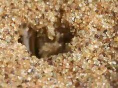 Animal Olympians: Gymnastics - The Golden Wheel Spider - rolls away from predator wasp