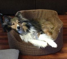 Snugly Sheltie. ~ MY SHELTIE LAYS THIS WAY, TOO, SO SHE CAN SEE EVERYTHING THAT'S HAPPENING ~