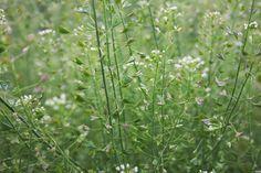 Kapsička pastierska - Výborná pre ženy Nordic Interior, Korn, Herbs, Plants, Gardening, Fitness, Lawn And Garden, Herb, Plant