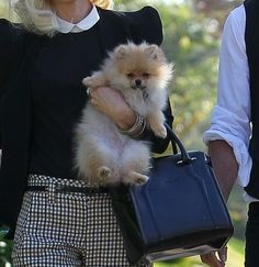 A Pomeranian puppy is NOT a fashion accessory. This puppy needs to be supported under his/her bottom - the butt - while providing support for the upper body as well.
