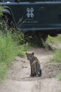 Sabi Sands  South Africa Wildlife