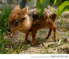 Baby Pudu deer