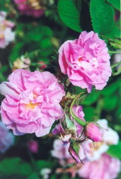 Rosa damascena - The summer damask rose, commercially cultivated in Kazanlik Valley of Bulgaria a source of the Attar of Rose essential oil REF: The Herb Society of America's Essential Guide to Roses 2012 Herb of the Year www.herbsociety.org)