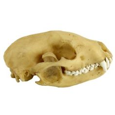 Raccoon Skull Figurine: An exact replica of an Academy specimen, this raccoon skull was created by a 3D printer to show the detail and accuracy of the original version.  This collector's item is only available for a limited time.
