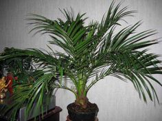 50pcs bottle palm tree seeds exotic plants bonsai tree tropical ornamentalB Kw