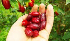 COARNELE – fructe care ajută în dereglările glandei TIROIDEI și ale sistemului LIMFATIC | LaTAIFAS Home Remedies, Natural Remedies, Cornus Mas, Cool Plants, Good To Know, The Cure, Flora, Cherry, Gardening