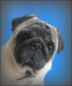 Sweet rescue pug.