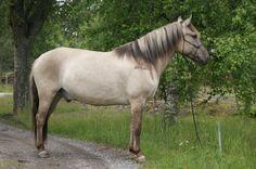 Bider markings on a grullo Basjkir horse.