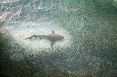 Un banc de poissons se divise au passage d'un requin.