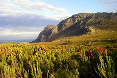 """Fynbos, means """"fine bush"""", is a unique and strikingly beautiful group of flora endemic to a small section of the Western Cape of South Africa. South Africa, Westerns, Flora, Mountains, Landscape, Garden, Water, Travel, Outdoor"""