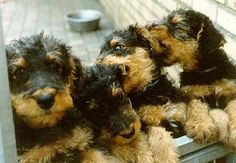 Aww nothing cuter than a bunch a Airedale Terrier Puppies, oh so darling