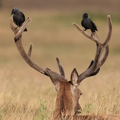 I don't know why this makes me laugh - there's just something about crows.