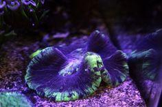 Coral Open Brain