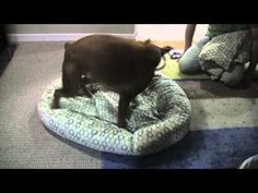 Linus the boxer & his clean bed.  I never get tired of watching goofy dogs play.  From Chels