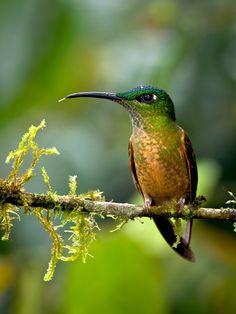 Brilliant Hummingbird! Fawn-breasted Brilliant - Bill Holsten Photography Ecuador 2012