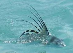 roosterfish - Google Search