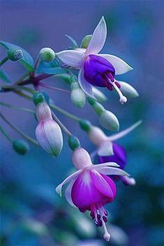 Purple fuscia