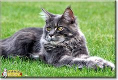 """This is """"Maine Coon Buddy of Maine Coon Castle,"""" he is a male cat from our own cattery. He was born and raised here. Currently, Buddy has a long body and great legs and that's exactly what we are looking for. Buddy is a product of old and new blood lines at our cattery. His angular snout is beautifully formed and especially, it is not too long. We will enjoy seeing him as he gets older, and even more beautiful.   He is a show cat, and has done very well, earning several Best in Show ..."""