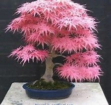 japanese pink maple に対する画像結果