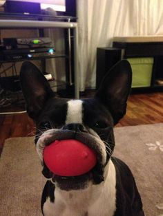 funny boston terriers | Photo] Boston Terrier With A Mouth Full Of Toy - iBostonTerrier.com ...