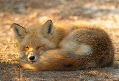 Red Fox at Island Beach State Park by Mark Schwall, via 500px