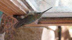 Morning Stupor Hummingbird