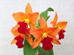 Rhyncattleanthe Little Fortune 'Fiery' (Cattlianthe Loog Tone x Rhyncattleanthe Haw Yuan Glory) #rhyncattleanthe #cattleya #orchid #orchidsbyhausermann | by Orchids by Hausermann