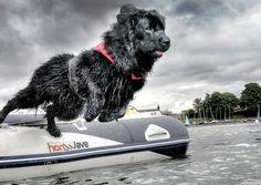 Newfoundland dog (Newfy) cards | eBay