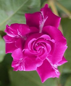 hybrid tea roses and knockout roses Beautiful Rose Flowers, Pretty Roses, Love Rose, Hot Pink Roses, Lavender Roses, Purple Roses, Good Morning Rose Images, Rose Pictures, Rose Of Sharon
