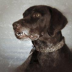 Vintage portrait Vintage Portrait, German Shorthaired Pointer, Pointers, Panther, Labrador Retriever, Dogs, Animals, Pet Dogs, Labrador Retrievers