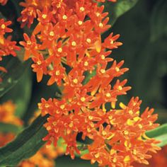 Butterfly Weed  Asclepias tuberosa    Type Perennial    Blooms Bright orange flowers from mid- to late summer    Light Full sun to part shade    Size 1 to 3 ft. tall, 1 to 2 ft. wide    Cold-hardy USDA zones 3 to 9    Heat-tolerant AHS zones 9 to 1