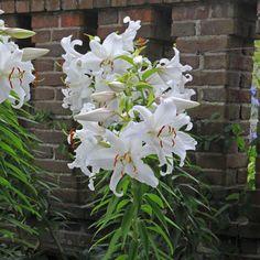 Die Lilie 'Casa Blanca' ist eine sehr elegante, weiße Sommerblume - ideal für klassische, dezente, weiße Gärten. Pflanzzeit für die Zwiebeln ist im Winter - online erhältlich bei www.fluwel.de
