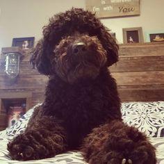 #pippi #portugesewaterdog #portugesewaterdogpuppy #puppy #yearofthedog #thedoggiechalet