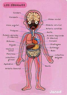 Organos - cuerpo