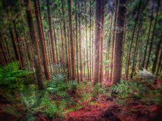 Forêt de cryptomerias, plaine des cafres