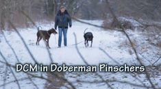DCM in Doberman Pinschers, very important for any Doberman owner.