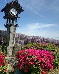 おはようございます 朝から雨ですね この前近くのホームセンターに行ったら店に入ってすぐの所にテントやらキャンプ用品が こんな時期だからすぐにピーンときましたが商魂たくましい  Picはつつじからの藤棚  #藤 #フラワー #花 #はな #風景 #はなまっぷ #自然 #flower_special_ #flower #landscape #with_precious_ #nature_special_ #naturelovers #nature #photo #nature_of_our_world #Ig_japan #team_jp_ #skylovers #東京カメラ部  #beautifuldestinations #icu_japan #gf_japan #instacrew #flowerstyles_gf #lovers_nippon #bestjapanpics #ig_nature by icewine.3776