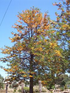 Landscape use: Often planted in streets and parks, the attractive Grevillea robusta - Silky Oak tree is suitable for use as a feature. Description from onlinetrees.com.au. I searched for this on bing.com/images