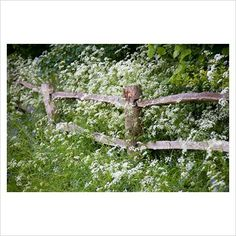 Post and rail fence with Cow Parsley - Anthriscus sylvestris at Brook Cottage Garden