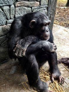 If I had a pet gorilla I know I can't get one but if I had one I'd name it Chimp.
