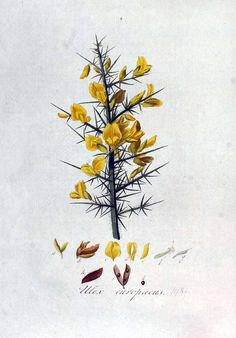 iloveyouinmorse-code said: Do you happen to have any wee pictures of Gorse (Ulex europaeus)? I go to conservatoire in scotland and it's one of my favorite smells in the world. Is that weird? Answer: I...