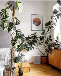 Tall Plants - monstera and rubber plant The Effective Pictures We Offer You About house plants decor bohemian style A quality picture can tell you many things. You can find the most beautiful pictures Rubber Plant, Rubber Tree, House Plants Decor, Plant Decor, Decoration Plante, Tall Plants, Hanging Plants, Potted Plants, Interior Plants