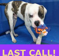 TITO (A1676852) I am a male white and brown brindle American Bulldog. The shelter staff think I am about 4 years old. I was found as a stray and I may be available for adoption on 02/06/2015. — hier: Miami Dade County Animal Services. https://www.facebook.com/urgentdogsofmiami/photos/pb.191859757515102.-2207520000.1423598078./923004094400661/?type=3&theater