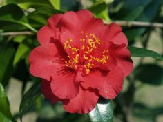 Maroon and Gold Camellia japonica