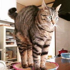 """""""「見て!手長いでしょ‼︎」 ほんとだねぇ… すごいねぇ…… #猫#cat#キジトラ#ウズラ"""""""